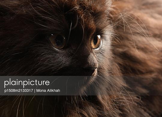 Persian cat - p1508m2133317 by Mona Alikhah