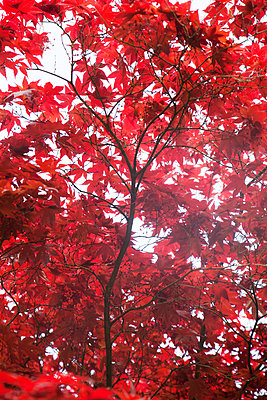 Red maple - p1040m959221 by Dorothee Hörstgen