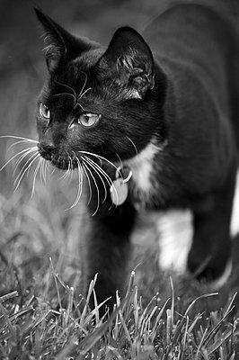 Black and white kitten walking through knee-deep grass purposefully. - p1433m1516686 by Wolf Kettler