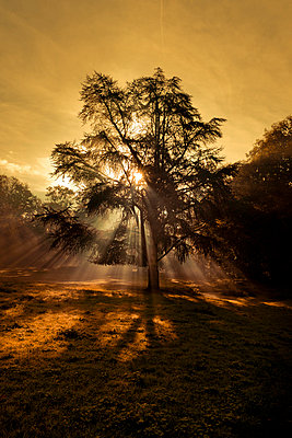 Sunbeams in a tree - p248m854025 by BY