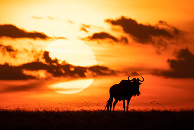 A blue wildebeest (Connochaetes taurinus) is silhouetted against the setting sun on the horizon. It has curved horns and is walking towards the sunset. Shot with a Nikon D850 in the Maasai Mara National Reserve in Kenya in July 2018; Kenya - p442m2037149 by Nick Dale