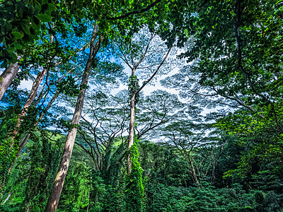 Lush vegetation in a rainforest in Hawaii; Oahu, Hawaii, United States of America - p442m2091786 by Robert Postma