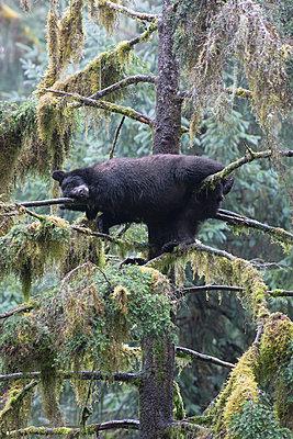 Black Bear sleeping in tree in temperate rainforest, Anan Creek, Tongass National Forest, Alaska - p884m1356779 by Matthias Breiter