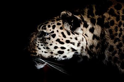 Jaguar - p4451102 by Marie Docher