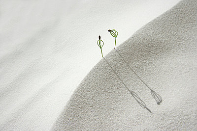 Pine seedlings on sand, close up, copy space - p5143275f by KOJI KITAGAWA