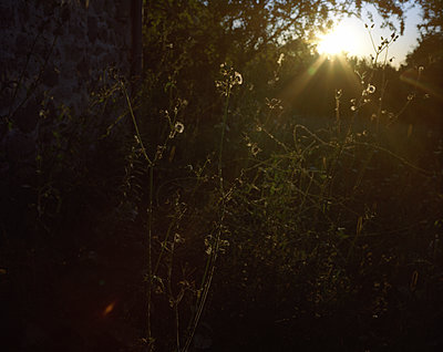 Sunbeams lighting up shrubs - p945m1196297 by aurelia frey