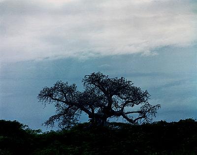 Baobab - p1016m792558 von Jochen Knobloch
