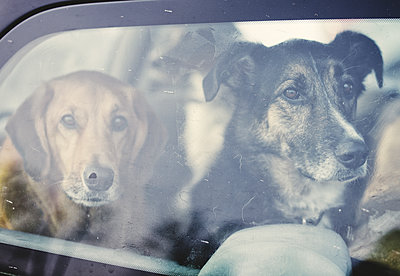 Dogs in Car - p1335m1492060 by Daniel Cullen