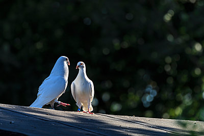 White pigeon - p417m1462215 by Pat Meise