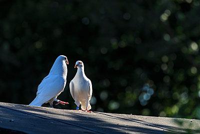weiße Taube - p417m1462215 von Pat Meise