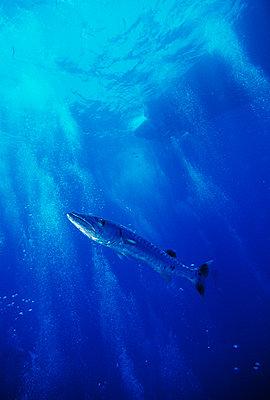 Fish swimming in sea - p5751785f by Magnus Melin