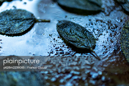 Sage in the pan - p628m2238085 by Franco Cozzo