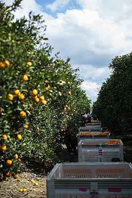 Harvest in orange plantation - p1134m1440775 by Pia Grimbühler