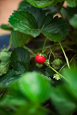 Close-up of strawberry growing on plant - p1166m1154022 by Cavan Images