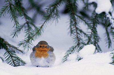 A robin redbreast - p5753522 by Heikki Willamo