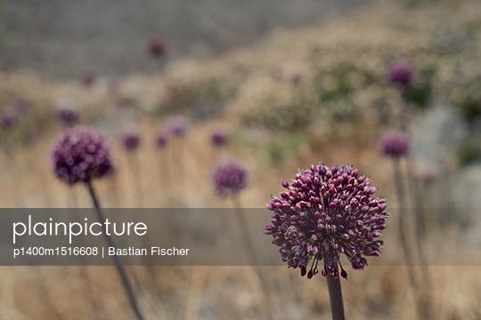 Eine Asteraceae, lila Distel - p1400m1516608 von Bastian Fischer