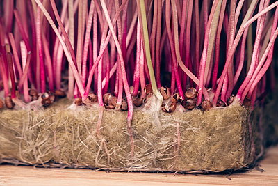 Organic Sango radish cress. roots - p1166m2290121 by Cavan Images