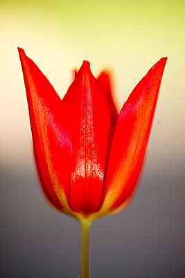 Red Tulip - p1560m2182488 by Alison Morton