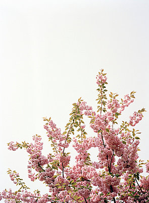 Pink blossom on cherry tree - p3015859f by Max Zerrahn