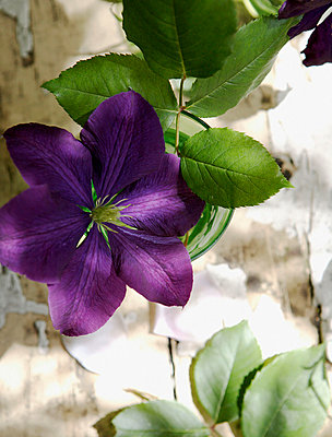 Sunlit purple clematis growing on stem - p349m789638 by Brent Darby