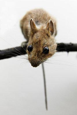 Ausgestopfte Maus - p4150595 von Tanja Luther