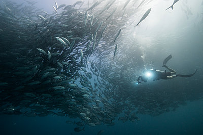 Underwater view of scuba diver diving among shoaling jack fish in blue sea, Baja California, Mexico - p924m1519374 by Rodrigo Friscione