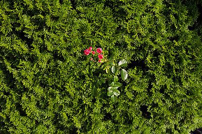 Rose im Busch - p969m758256 von Alix Marie