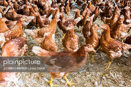 Hühnerstall 9 - p1388m1586905 von Julia Unkel