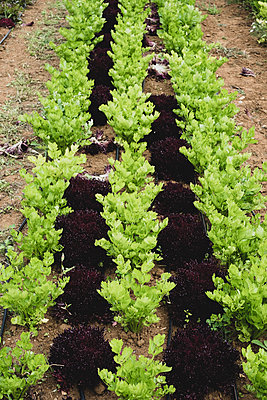 High angle close up of rows of celery in a field. - p1100m2271538 by Mint Images