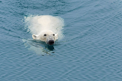 Polar Bear (Ursus maritimus) swimming, Svalbard Archipelago, Arctic, Norway - p871m2057954 by G&M Therin-Weise