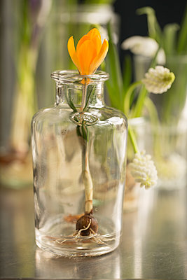 Yellow crocus with flower bulb in small glass vase - p948m2134105 by Sibylle Pietrek