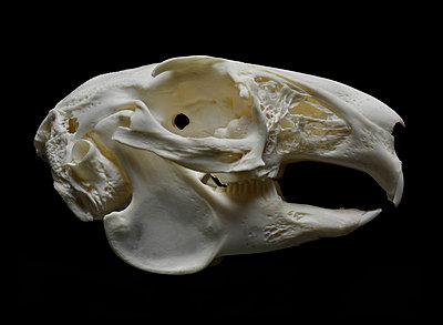 Animal Skull - p250m1090973 by Christian Diehl