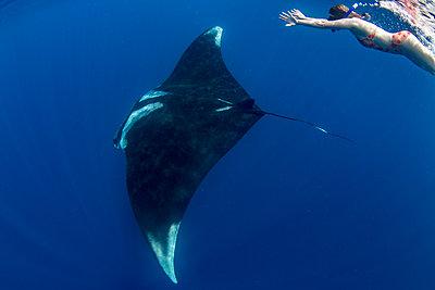 Snorkeller with oceanic manta ray (Manta birostris) feeding near the surface, Honda Bay, Palawan, The Philippines, Southeast Asia - p871m2122929 by Duncan Murrell