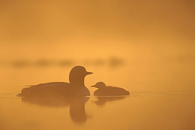 Pacific Loon parent and chick on misty lake - p884m862494 by Michael Quinton