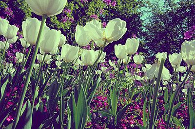Tulips - p1153m951560 by Michel Palourdiau