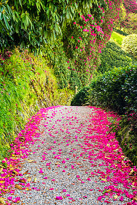 Rhododendron Lined Path, Lanhydrock, Bodman, Cornwall, England - p651m2032909 by Tom Mackie