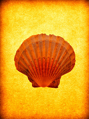 Scallop shell - p9241092 by Stillfactory