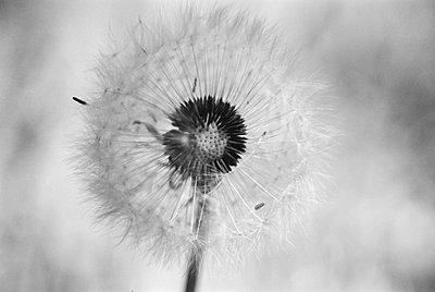 Pusteblume - p9791198 von Hath photography