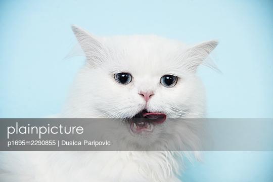 White cat - p1695m2290855 by Dusica Paripovic