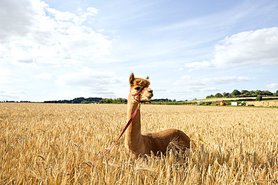 Portrait of alpaca standing in barley field - p300m2251860 by FL photography