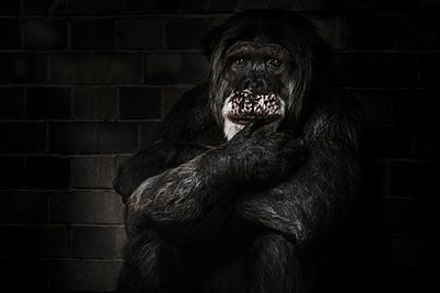 Schimpanse - p1280m1169341 von Dave Wall