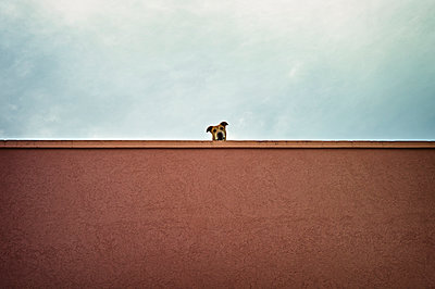 Pit bull terrier watching from top of a roof - p300m975084f by Dirk Kittelberger