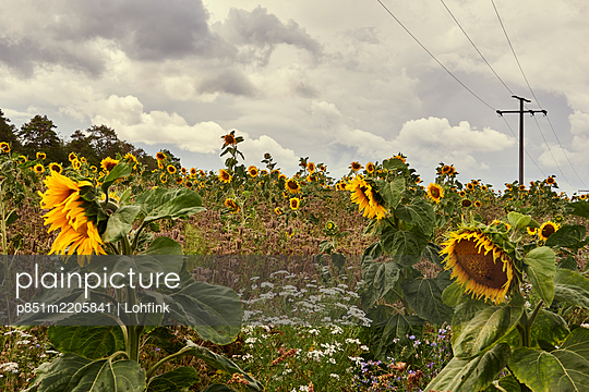 Field with sunflowers under transmission line - p851m2205841 by Lohfink