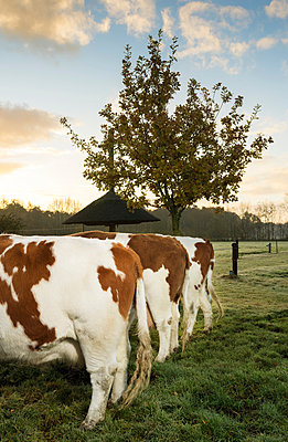 Three domestic cows in field, in a row, rear view - p429m1519630 by Mischa Keijser
