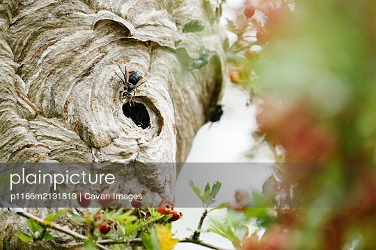 Closeup photo of a bee entering a hive - p1166m2191819 by Cavan Images