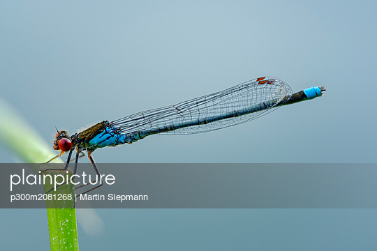Male red-eyed damselfly in front of blue background - p300m2081268 by Martin Siepmann