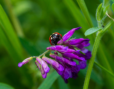 Close-up of ladybug on flowers - p1166m2008959 by Cavan Images