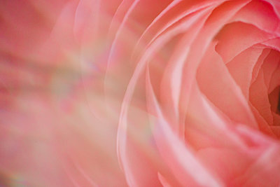 close up of a pink flower seen through a prism - p1166m2093907 by Cavan Images