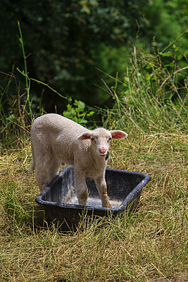 Little sheep - p417m1154838 by Pat Meise