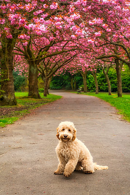 A dog sits on a trail lined with trees in pink blossoms; Gateshead, Tyne and Wear, England - p442m1216446 by John Short